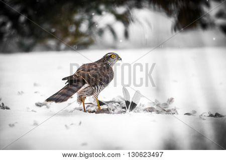 A male Goshawk with prey in snow
