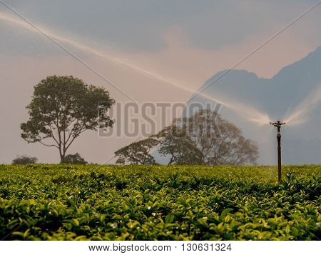 irrigation of a plantation of tea in Africa