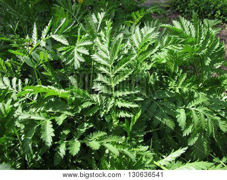 Tansy, Tanacetum vulgare, in herb garden for herbal medicine