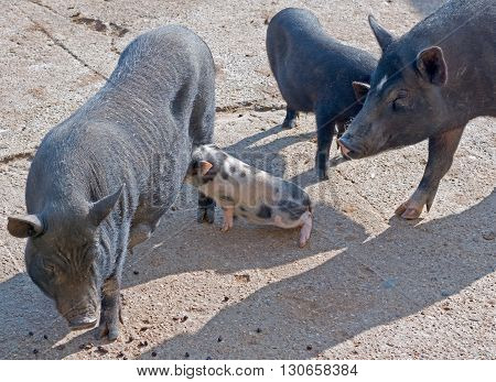 vietnamese potbellied pigs and piglet in zoo