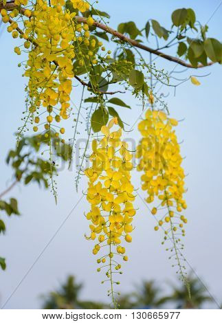 Golden shower tree or Cassia fistula, Tropical flower