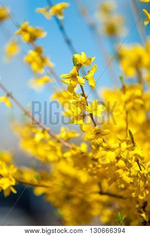 Branches of yellow Forsythia flowers against the blue sky Forsythia is a genus of flowering plants in the family Oleaceaemostly native to eastern Asia but one native to southeastern Europe.