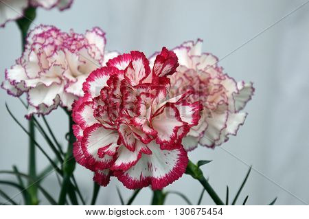 beautiful mixed colored flower pink white breeded