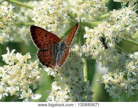 A Purplish Copper Butterfly on white flowers
