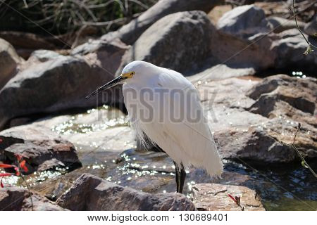 Snowy_Egret at the waters edge just chillin