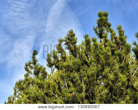 Pine tree and cones with blue sky and clouds after spring rains