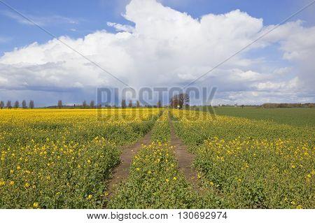 Yorkshire Oilseed Rape Fields