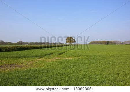 Yorkshire Wheat Fields With Oak Trees