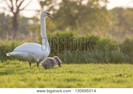 Mute swan (Cygnus olor) mum and cygnet grazing by the river in the evening.