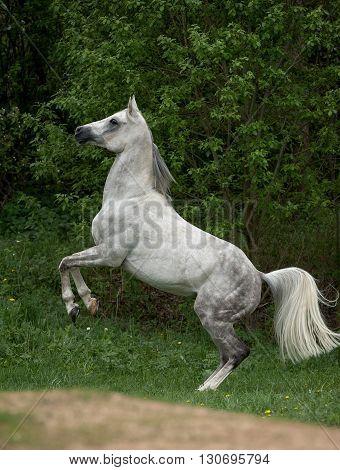 dapple gray arabian stallion rearing on nature