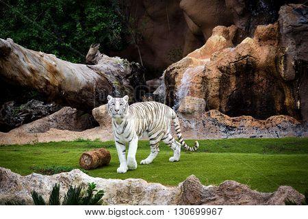 White tiger walking at Loro park on Tenerife island, Spain