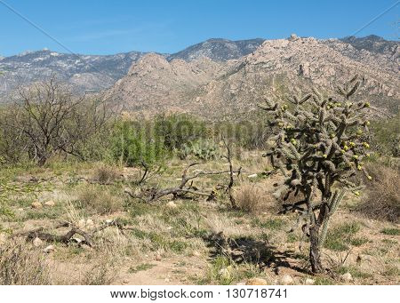 A cholla cactus in Arizona's Catalina State Park