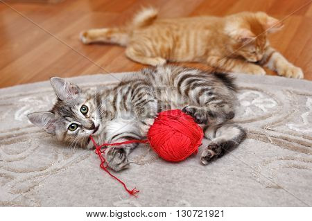 Kuril Bobtail cat playing with a ball of yarn. Red and gray kitten. Thoroughbred cat. Cute and funny kitten. Pet.