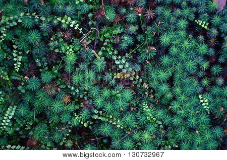 Emerald cosmos of star shaped moss and ferns growing on the forest floor