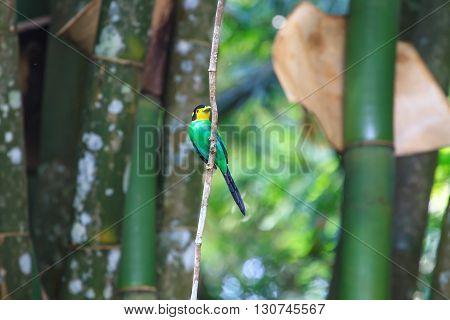 Colorful Bird Long Tailed Broadbill On Tree Branch