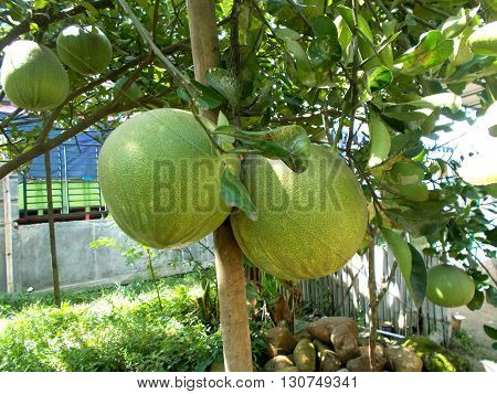 Two old pamelo fruits on the pomelo tree, grapefruit