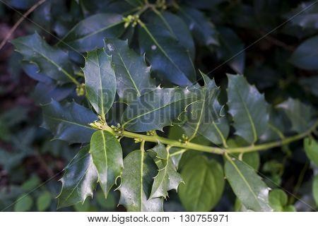 close up on Ilex aquifolium in garden