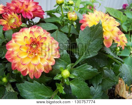 Garden Dahlia of yellow and red colors