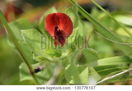 Winged or Asparagus Pea - Lotus tetragonolobus syn. Tetragonolobus purpureus