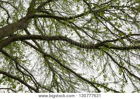Looking up at a mature Katsura tree in the spring.
