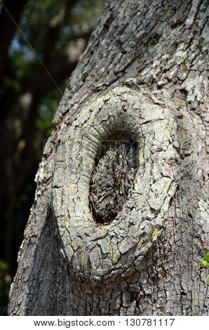 Tree knot on a live oak tree background
