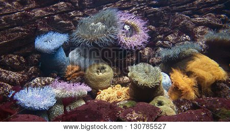 Group of coloured aneones in aquarium close up