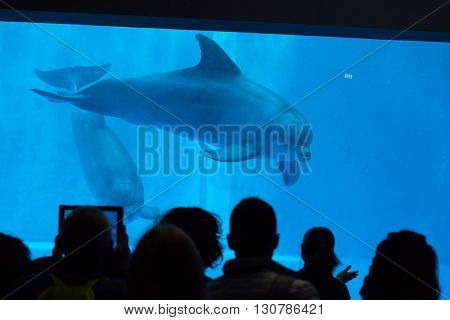 GENOA, ITALY - MARCH 22, 2016: Visitors observe as common bottlenose dolphins (Tursiops truncatus) swim in the Genoa Aquarium in Genoa, Liguria, Italy.