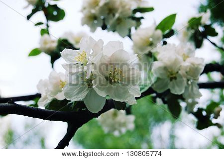Apple Flowers In Bloom. Aged Photo.