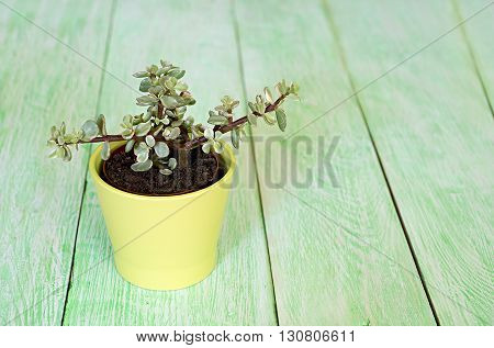 Small fresh green succulent in a little wooden pot top view on a green wooden background. Workplace decor. Scandinavian interior