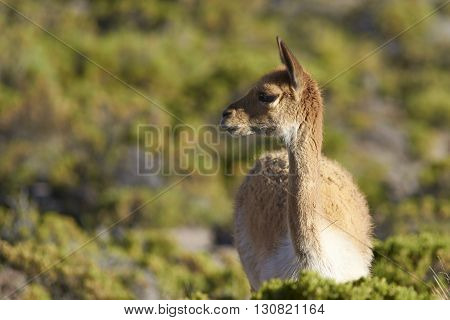 Portrait of an adult vicuna (Vicugna vicugna) grazing on bushes in Lauca National Park on the Altiplano of north east Chile.