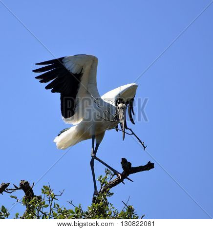 Wood Stork in the wild on the marshland of Florida