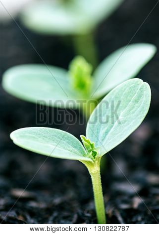 extreme close up shot to define a signal organic newly formed seedling background blurred for copy space