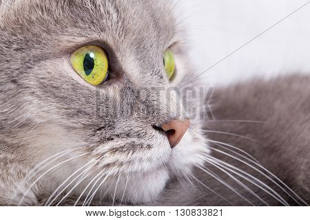 Muzzle of the gray cat looking half-turned. Close up small depth of sharpness.