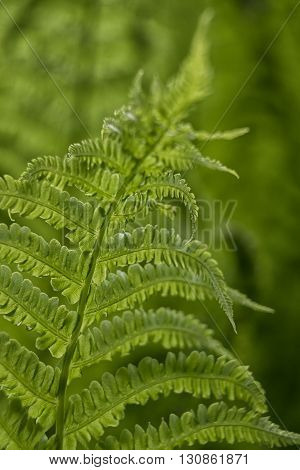 Sun shining through fronds of fern with soft green background