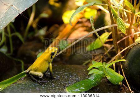 Yellow Frog on stone