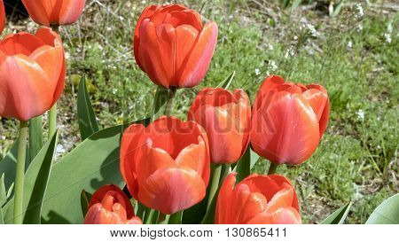 Red tulips in the garden flowerbed swaying in the wind. Closeup shot. Nature sunny summer and spring concept.