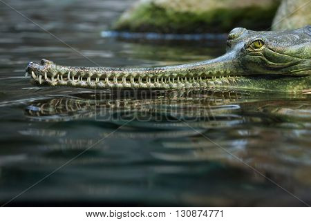 Gharial (Gavialis gangeticus), also knows as the gavial. Wildlife animal.