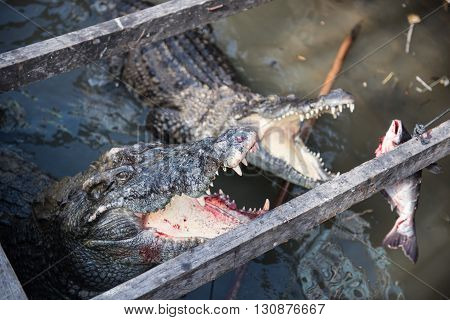 Crocodiles in water are being fed in the Crocodile Park in Siem Reap, Cambodia.  Crocodile park is a famous tourist place with many crocodiles of distinct ages for the tourists to visit.