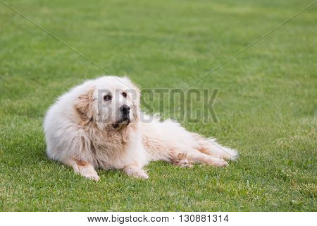 A senior female Great Pyrenees dog lounging outdoors in grass