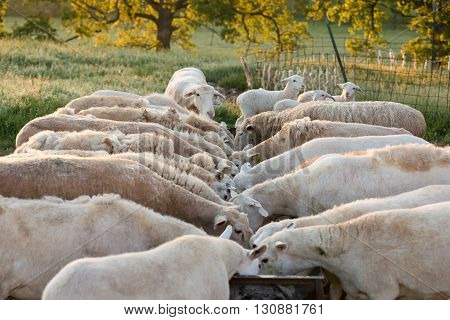 A flock of sheep feeding at a trough at sunrise