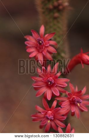 Hybrid red Echinopsis Allusion cactus flower blooms in a botanical garden in Southern California