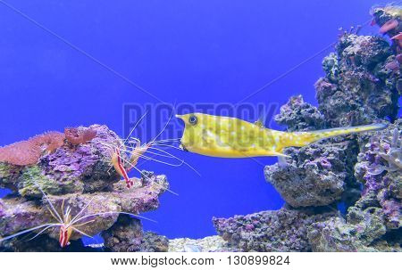 Yellow boxfish (lat. Ostracion cubicus) - saltwater fish of the family unit kuzovkova tetraodontiformes common in the waters of the Pacific and Indian oceans in reef areas as well as in the Atlantic Ocean off the south-west coast of Africa. poster