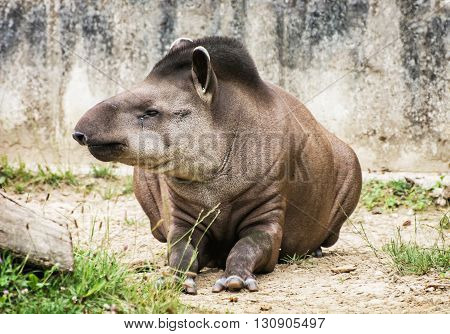 South American tapir - Tapirus terrestris - also know as Brazilian tapir and Lowland tapir. Endangered animal species. Beauty in nature. Animal portrait.