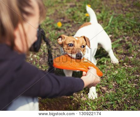 Girl taking photo of playful little Jack Russell puppy with puller toy in teeth. Location is green park. Cute small domestic dog good friend for a family and kids. Friendly and playful canine breed