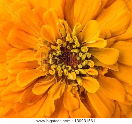 botanical Extremely close up of Zinnia flower