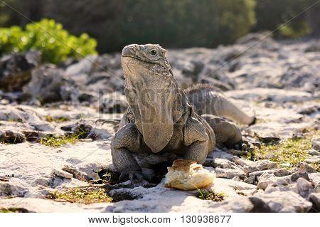 Island of iguanas living in wildlife. Cayo Largo island in Cuba, caribbean sea.