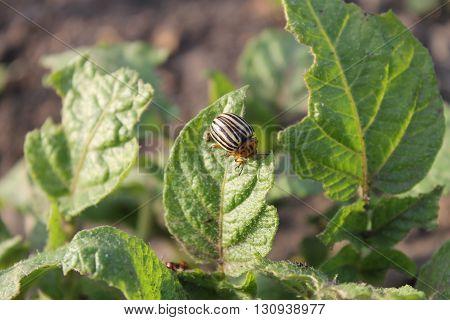 Colorado Potato Beetle (Leptinotarsa decemlineata) on potato bush
