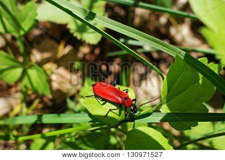 Close-up of black headed cardinal beetle (Pyrochroa coccinea) on a green leaf
