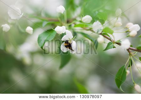 Bumblebee collecting pollen on flower, close up