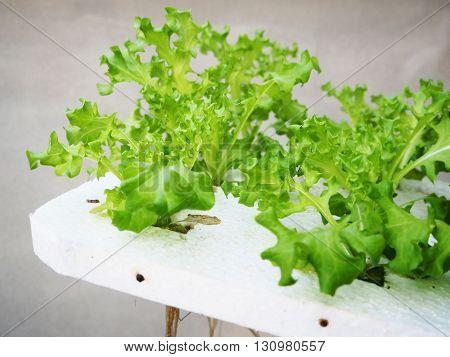 Sprout green oak Lettuce hydroponic in farm
